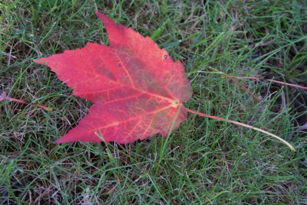 a red fall leaf