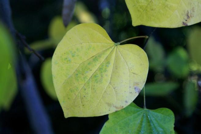 A heart shaped leaf